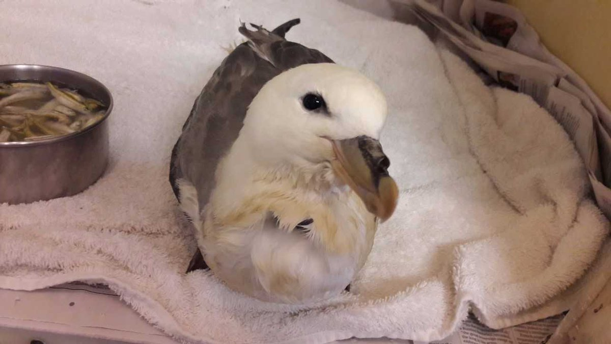 test Twitter Media - This Fulmar came in covered with oil, had ingested lots of the oil too so the staff gave him medication to clear it. Lots of TLC needed 🕊️ https://t.co/kd0uqzNPQW