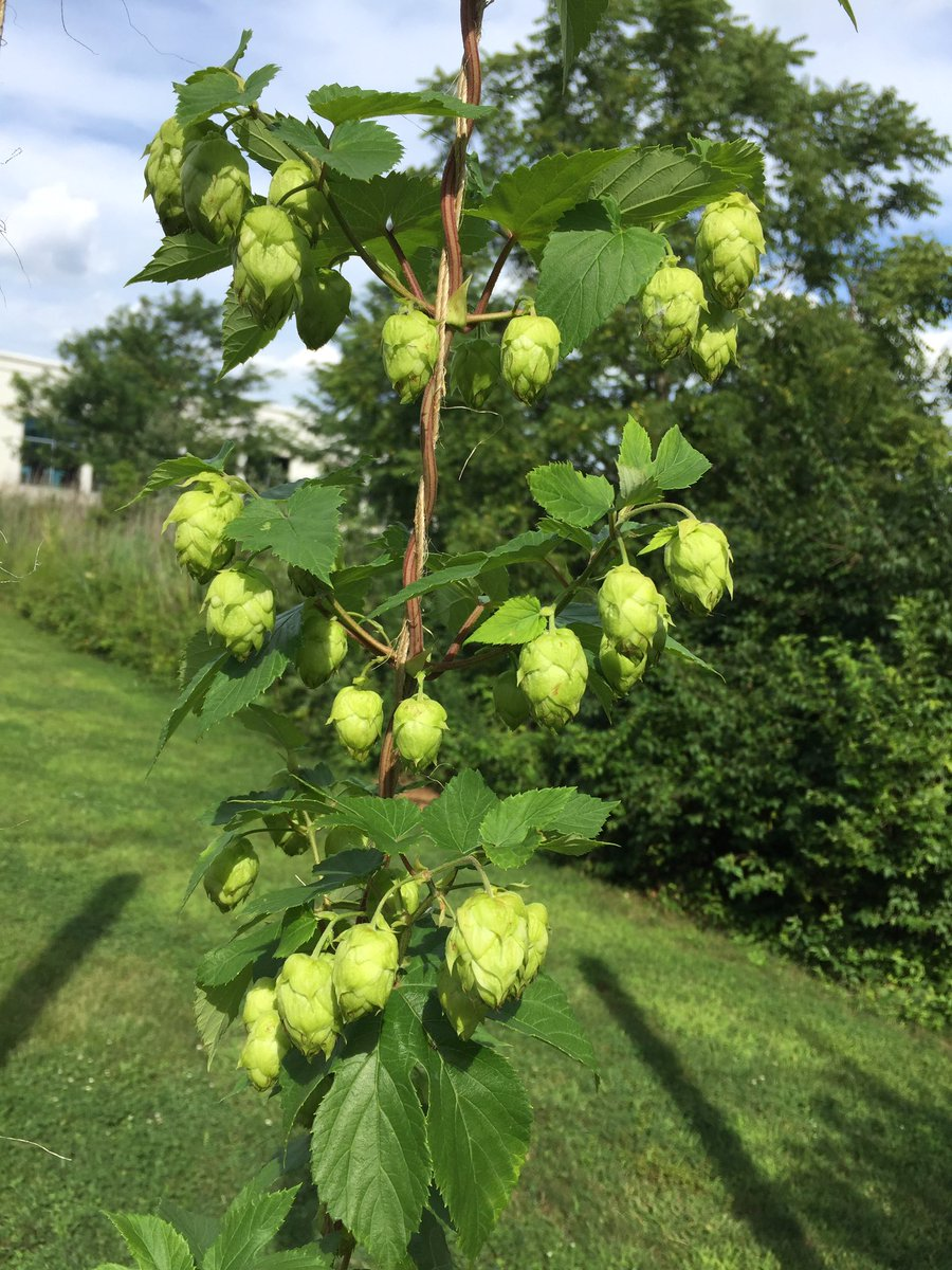 Blueprint brewing co on twitter when the hops pop hops blueprint brewing co on twitter when the hops pop hops hoppoles growyourown beer brewery towamencin blueprintbrewingcompany malvernweather Images