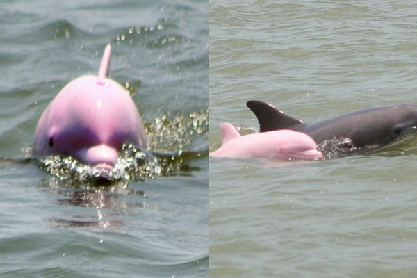 "Pink dolphin named ""Pinky"" spotted playing in Louisiana ship channel. #WakeUpWith10  http:// news10.com/2017/08/09/pin k-dolphin-named-pinky-spotted-playing-in-louisiana-ship-channel/?utm_medium=social&amp;utm_source=twitter_WTEN &nbsp; … <br>http://pic.twitter.com/IYcUfklTuB"