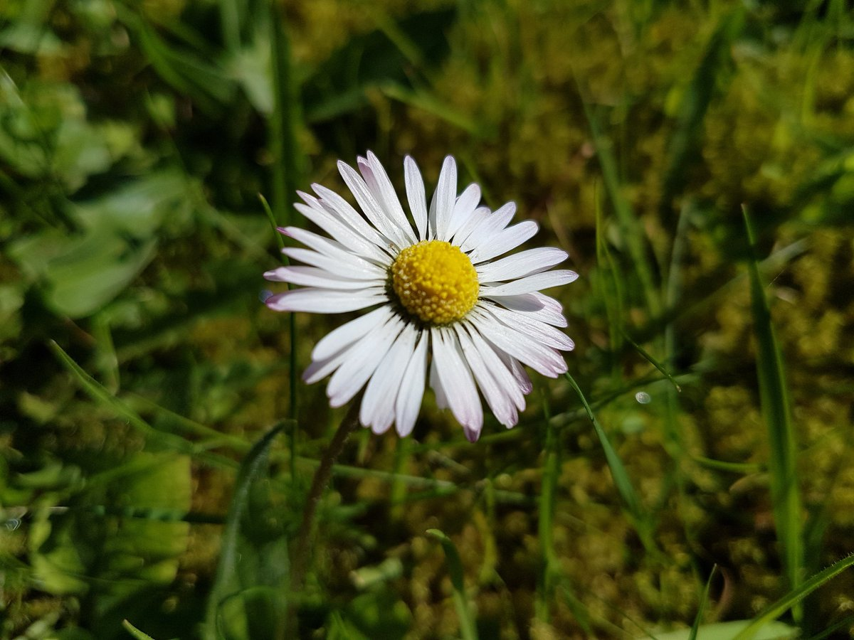 Catherine cawley on twitter the daisy fairy was a guide into the daisy flowers are known for the spell he loves me he loves me not symbolise purity innocence loyal love and beauty folklorethursdaypicitter izmirmasajfo
