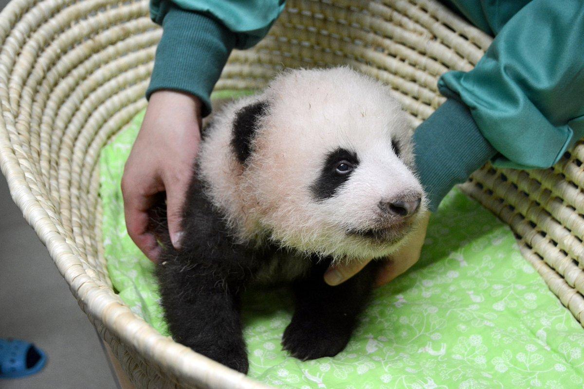 ジャイアントパンダ「シンシン」の子どもが8月21日(月)に70日齢を迎え、定期身体検査をおこないました。東京ズーネット最新記事→tokyo-zoo.net/topic/topics_d… pic.twitter.com/qLoDtl7UL1