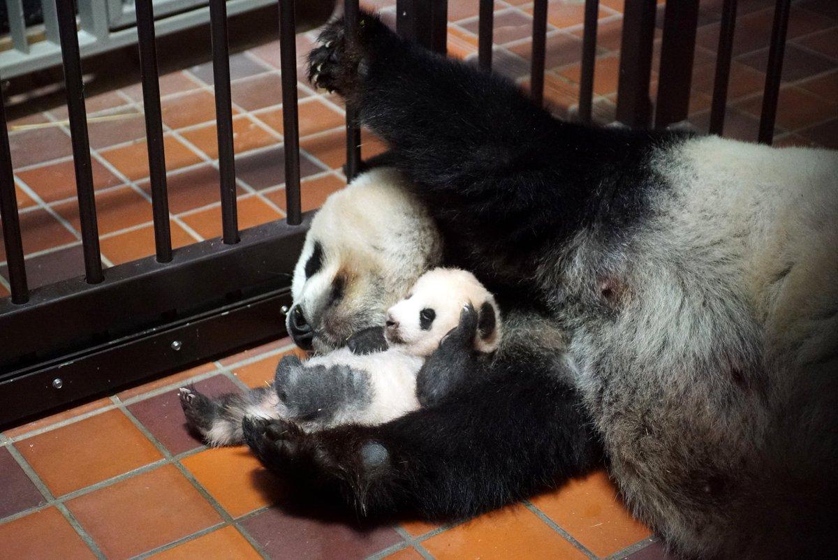 シンシンは、一日中産室内で子どもと過ごしており、子どもの体を舐めたり、授乳をしたり、しっかりと世話をしています。 pic.twitter.com/5c8Ta14bvs
