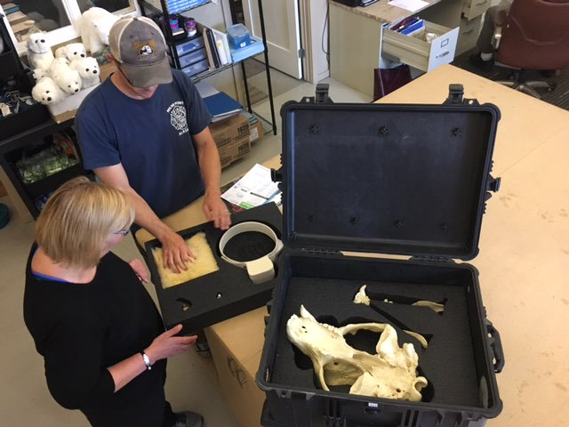 PBI staff prepare #polarbear interpretive kits that include educational items such as a replica skull, claw, and retired tracking collar. <br>http://pic.twitter.com/B6DDXesS8V