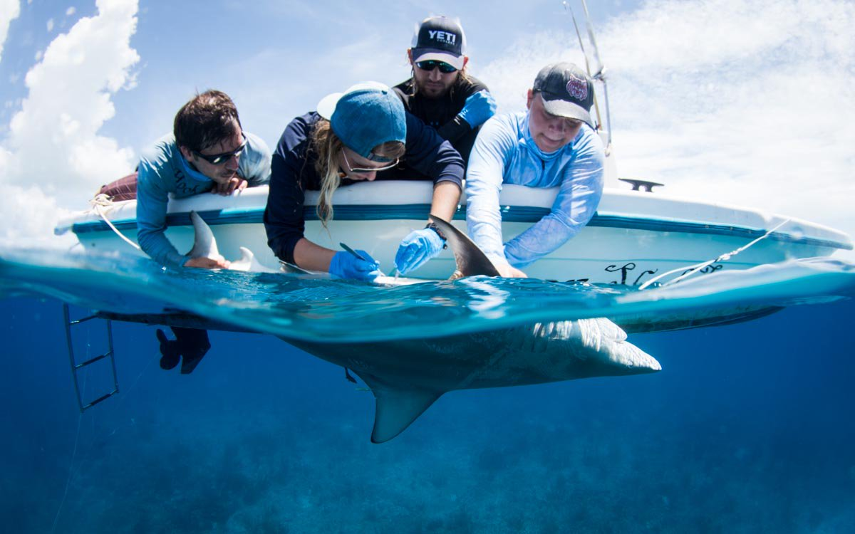 Another #beautiful female blacktip #shark was successfully tagged with an @vemcoteam acoustic tag! Now we can track her for up to 10 years!<br>http://pic.twitter.com/xSxEuhNXKj