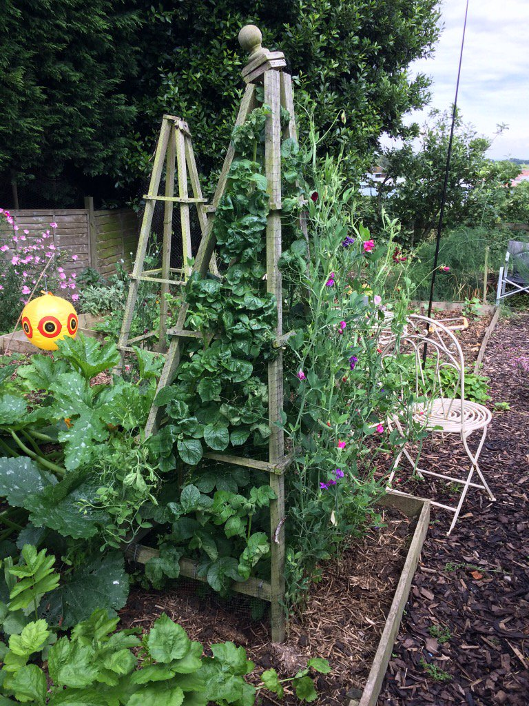 So a rogue potato has trained itself up my sweet pea tripod. #nationalallotmentweek @autisticgardner New trend?<br>http://pic.twitter.com/MxbAkwRdc3