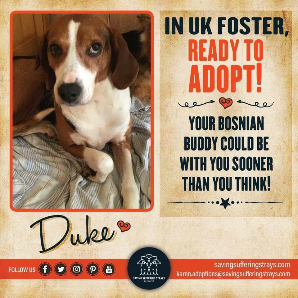 #ADOPT DONT SHOP #this one is really special #in  Foster waiting for adoption #DUKE gentlest loving easygoing full of  #DM for info<br>http://pic.twitter.com/8HvWljzRjw