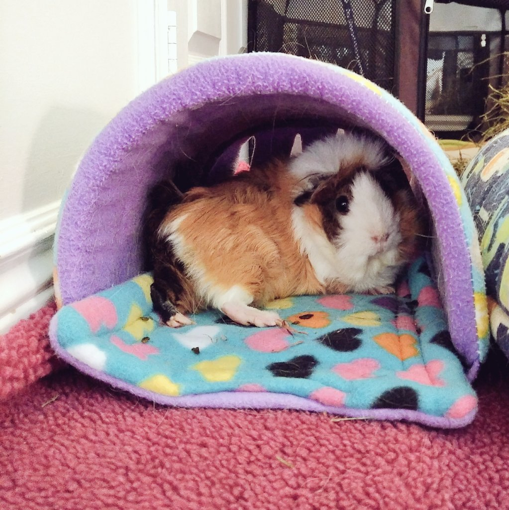 Two cutsie Shelby footsies  #guineapig #pets #Fluffy #CutiePie #french #Chillout #myLove #petlovers<br>http://pic.twitter.com/iesQ9EhSMP