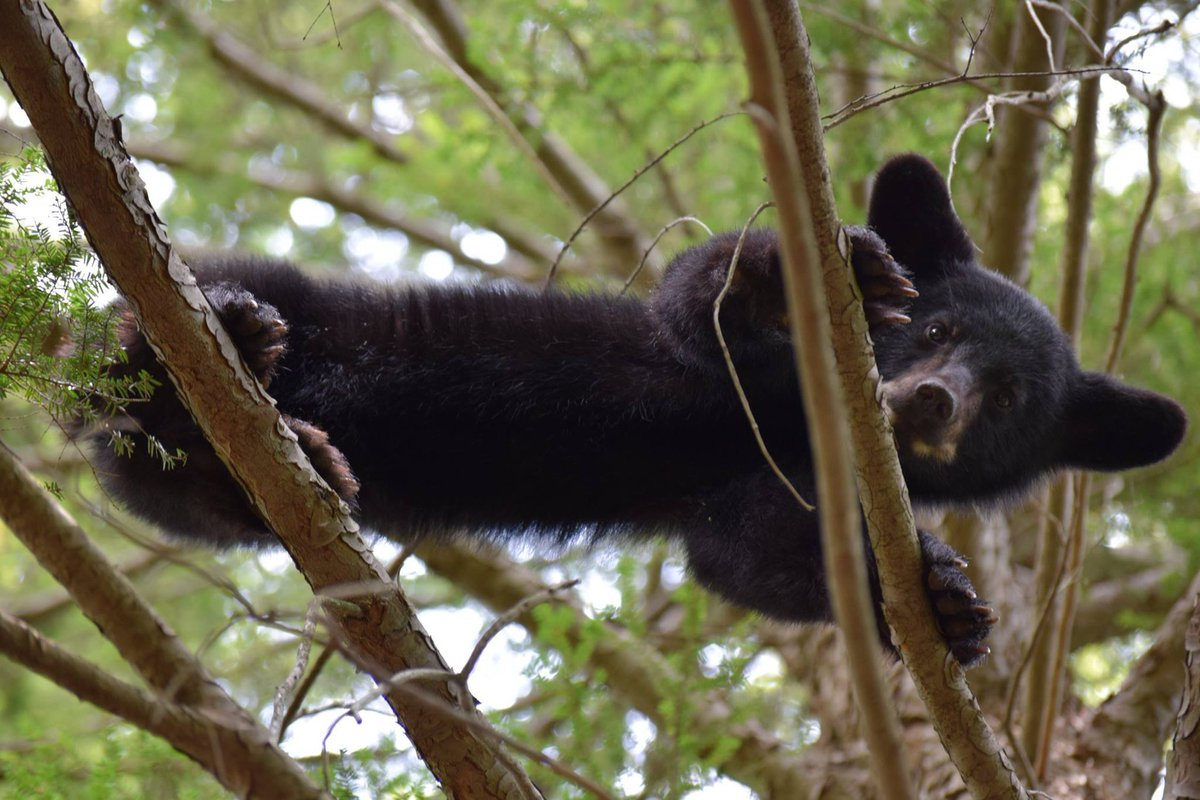 Is #blackbear Tuesday a thing? #cutenessOVERLOAD #bear #cub<br>http://pic.twitter.com/pjdFBPiAiR