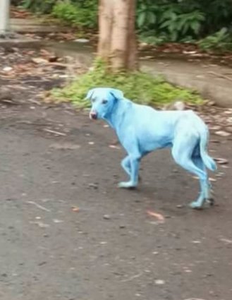 Dogs in Navi Mumbai, India are turning blue due to industrial water pollution. Local media says the factory responsible may be shut down.