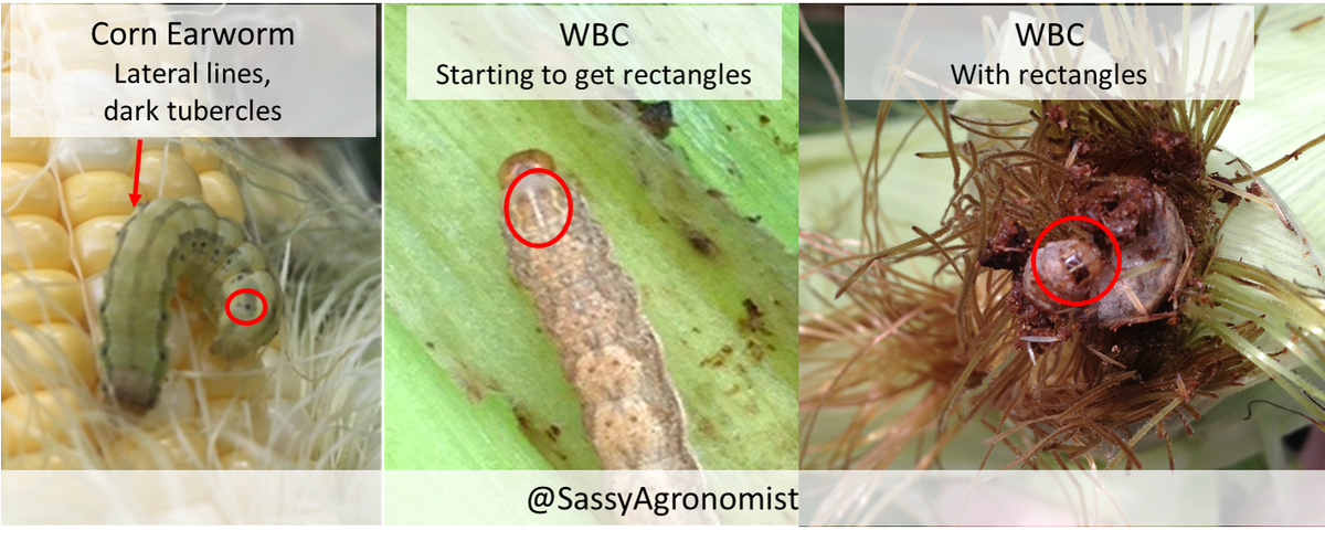 Something in your ears? Be sure to know if it&#39;s #CornEarworm or #WesternBeanCutworm #FCUS #SMSAW #IPM #Entomology #Scout17 #corn #agronomy <br>http://pic.twitter.com/p2EsVtgrs6