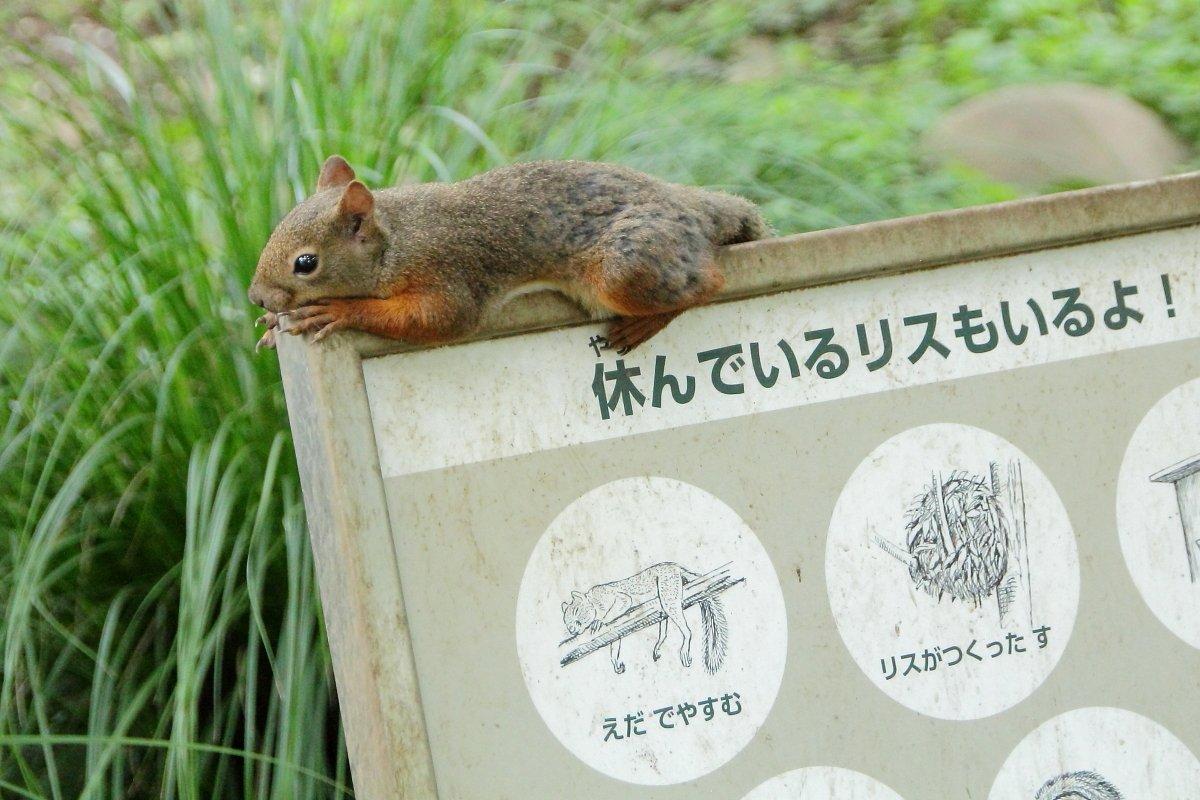 リスの小径内、リスの行動の解説板に力を貸すリス。#井の頭自然文化園 pic.twitter.com/VbOZs0y7Co