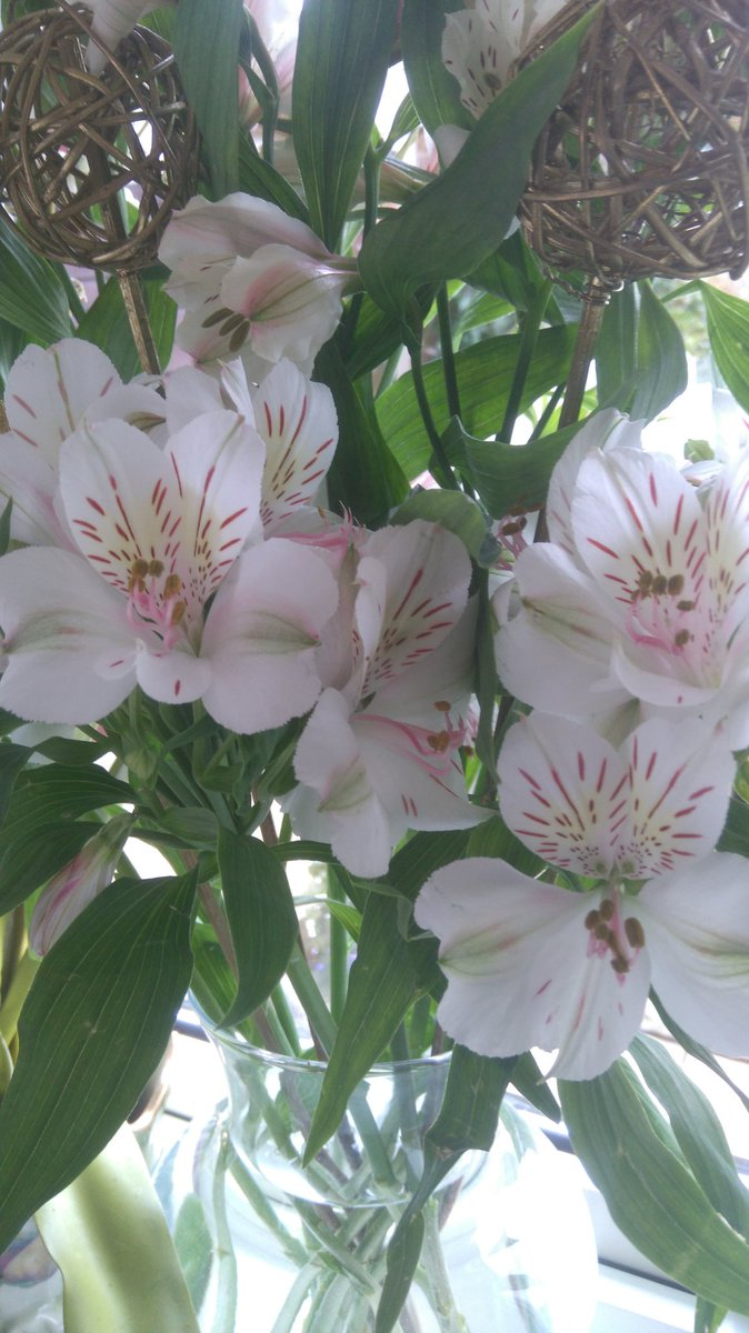 Alstroemeria, also known as Lily of the Incas or Peruvian lily brightens the house  #myfeminineside pic.twitter.com/AEEWtGLfNA