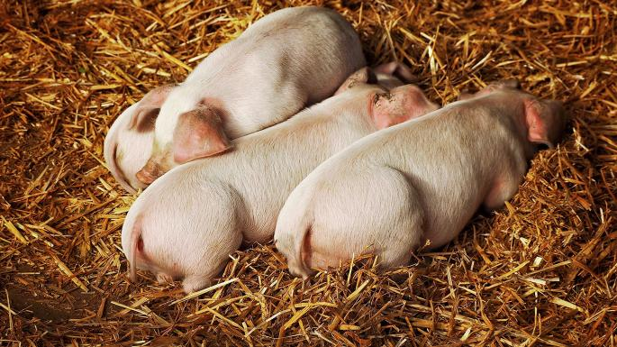 A litter of piglets rescued from a barn fire have been served up as sausages to the firefighters who saved them  https://t.co/5sLVqiL9UZ