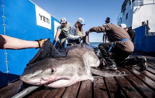 Twitter feed frenzy: @OCEARCH Great white shark captivates #socialmedia  http:// buff.ly/2w3aUe8  &nbsp;   via @metrotoronto<br>http://pic.twitter.com/VzOWakxHBH