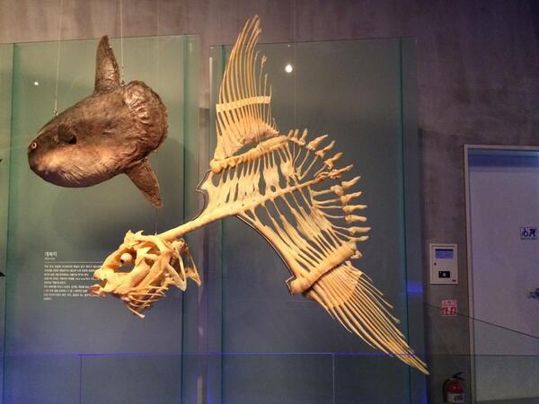 マンボウの骨格標本が外見と違いすぎて驚きだけど「食用じゃない魚の骨格は意味不明なのが多い」らしい