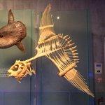 あの見た目でこれ?マンボウの骨格から見る復元技術の重要性!