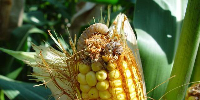 Check for large, white egg masses on upper 1/3 of #corn when scouting for western bean cutworms:  http:// bit.ly/2whxAtt  &nbsp;   #Scout17 #Agronomy <br>http://pic.twitter.com/GcjeCCFQXX