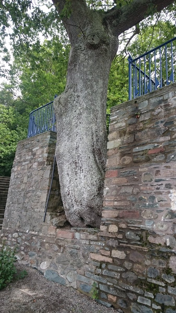 One of my favourite pics from yesturday lovely oak tree with the build around it. Humans and plants in harmony. #oak #holiday #LakeDistrict<br>http://pic.twitter.com/sJKnXgtVvv