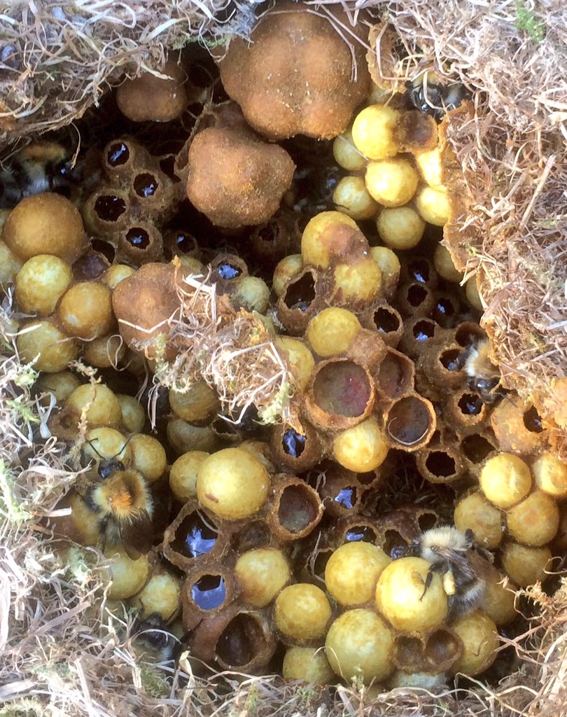 bumble bee watch bumblebeewatch twitter