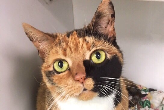 Bacci is a sweet &amp; gorgeous 16 year old #kitty who was taken to a shelter when owner became allergic. Adopt her   http:// petsbringjoy.org/adopt.html  &nbsp;  <br>http://pic.twitter.com/0DHn7gUpUB