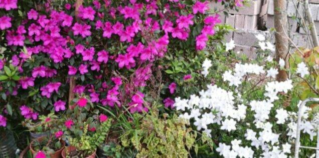 #FelizJueves #Azaleas #Uruguay #Primavera el jardin de mi vieja