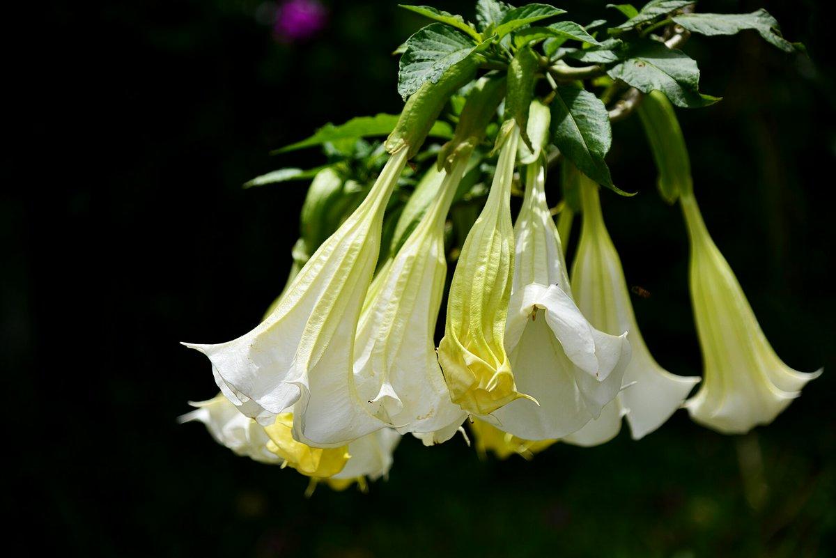 Vietnam Flower On Twitter Beautiful But Have Poison Borrachero