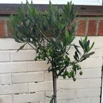 My olive tree has lots of olives does anyone know when to pick them, will they be edible or what to do with them o… https://t.co/0nciEIegGr