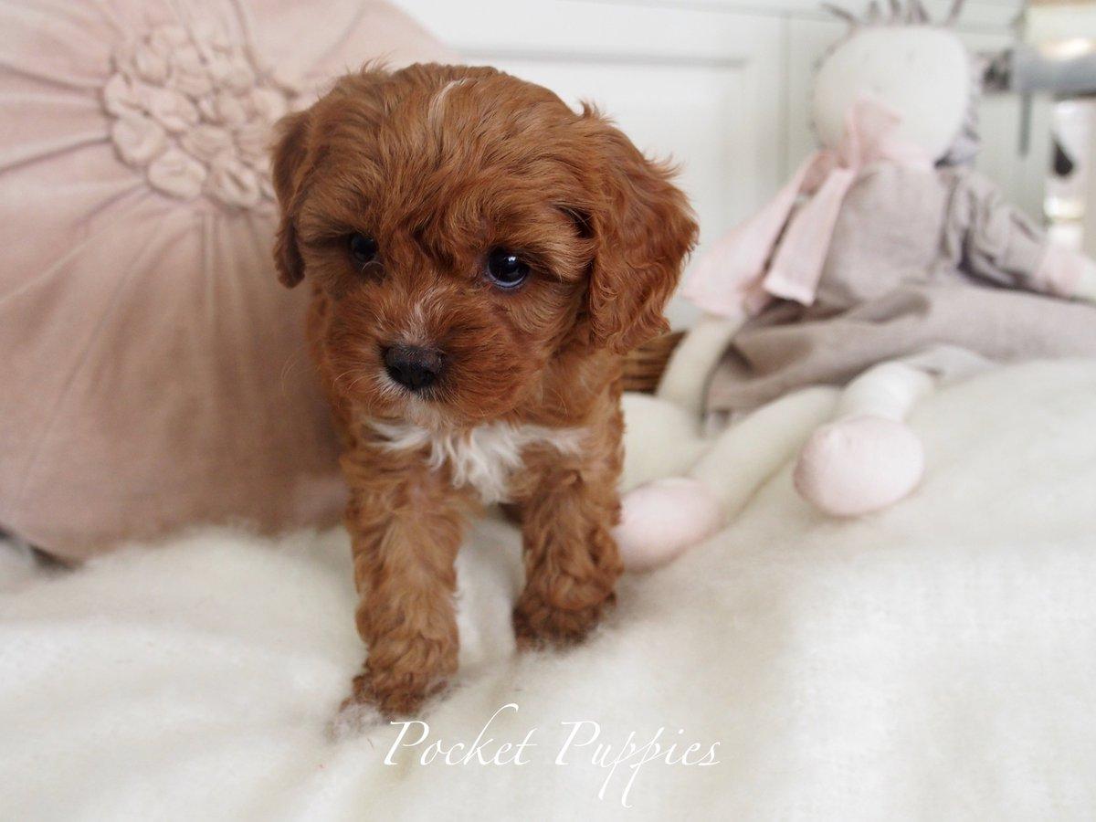 Pocket Puppies At Pocketpuppiesau Twitter
