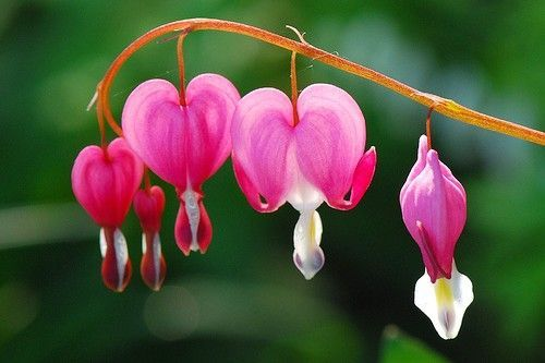 #LoveFlowers Most Beautiful but Strange Flowers  oddly resembles the conventional shape of the heart with e droplet beneath. <br>http://pic.twitter.com/fcVsljogaC