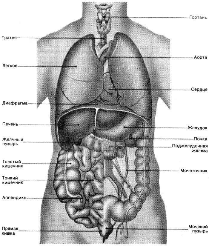 анатомия человека pdf  бесплатно