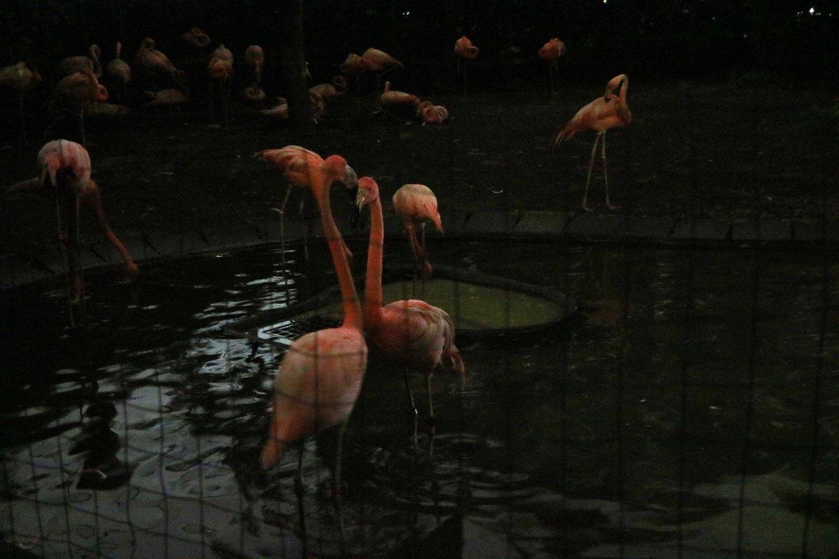 夜ミンゴ。 #真夏の夜の動物園