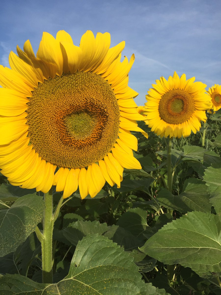 Stalking Elusive Trophy Sunflower >> Popefarmconservancy Hashtag On Twitter