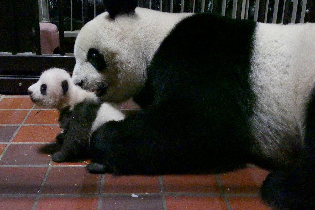赤ちゃんの「パンダ力(ぱんだりょく)」は順調にUP↑しています。母親シンシンは産室内で子どもといっしょに過ごしており、子の体をなめたり、授乳したり、排泄をうながしたり、しっかりと世話をしています。 #上野動物園 #パンダ力 pic.twitter.com/f5FH84ENxK