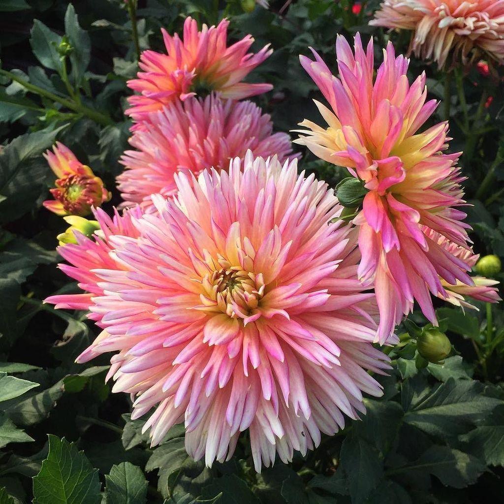 Just can&#39;t get enough Dahlias! #dahlia #summerflowers #dahlialove<br>http://pic.twitter.com/uZHhXOJFFg