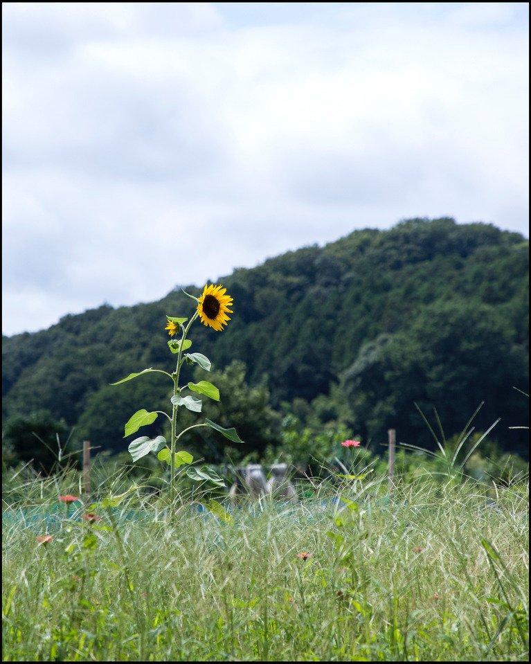 Bloom alone #flower #sunflower #花 #向日葵 #ひまわり #写真撮ってコー  http:// ift.tt/2uUei8Z  &nbsp;  <br>http://pic.twitter.com/SgK1l2rLjy