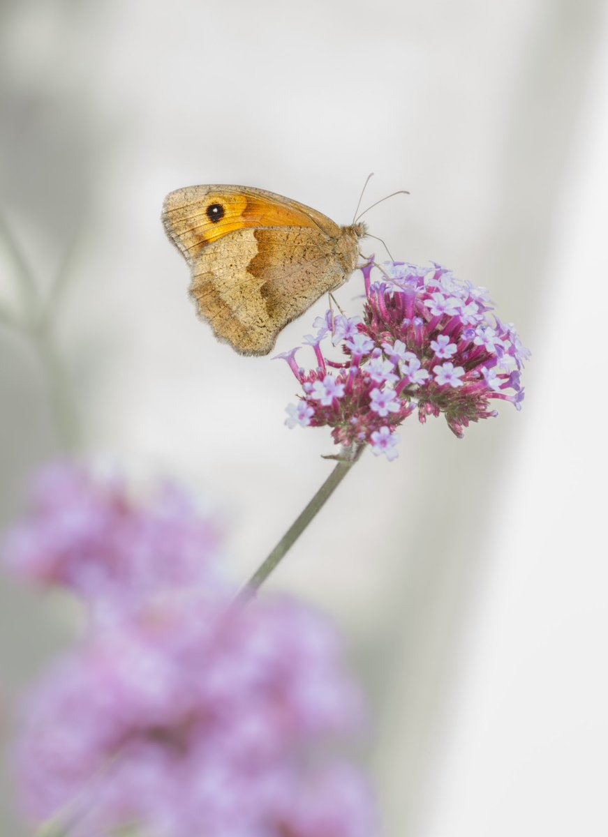 RT @markhortonphoto Meadow Brown on verbena for #Sharemondays Window frame of the old glasshouses @LoseleyPark providing the backdrop https://t.co/8Z9s5Em7oP