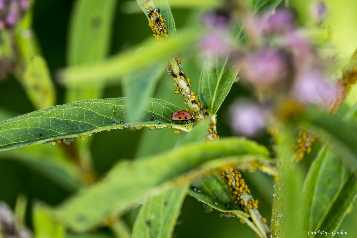 I was so focused on the ladybug that I didn&#39;t notice all the aphids until processing the picture. #ladybug #Illinois #insects<br>http://pic.twitter.com/wcV9lV5FxY
