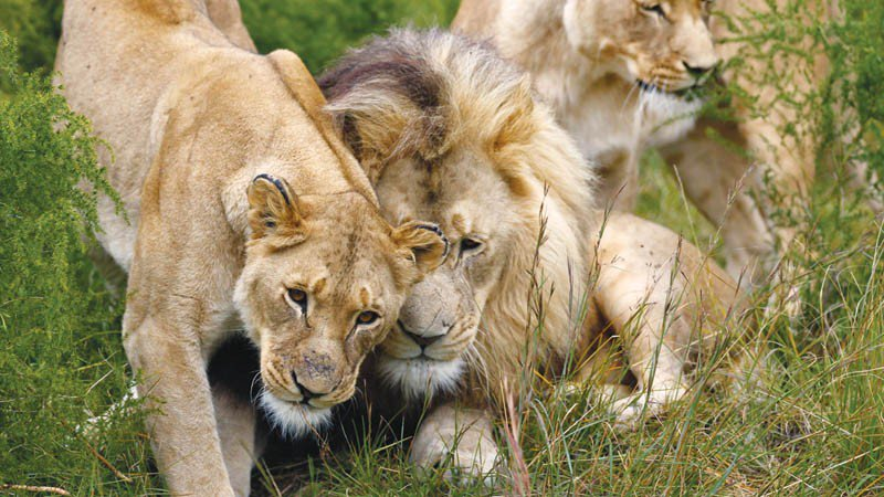 4 #Botswana men arrested in possession of #Lion bones and leathers - will be charged with hunting without a license  http:// bit.ly/2w6Bkh6will  &nbsp;  <br>http://pic.twitter.com/0p28GO3aH1