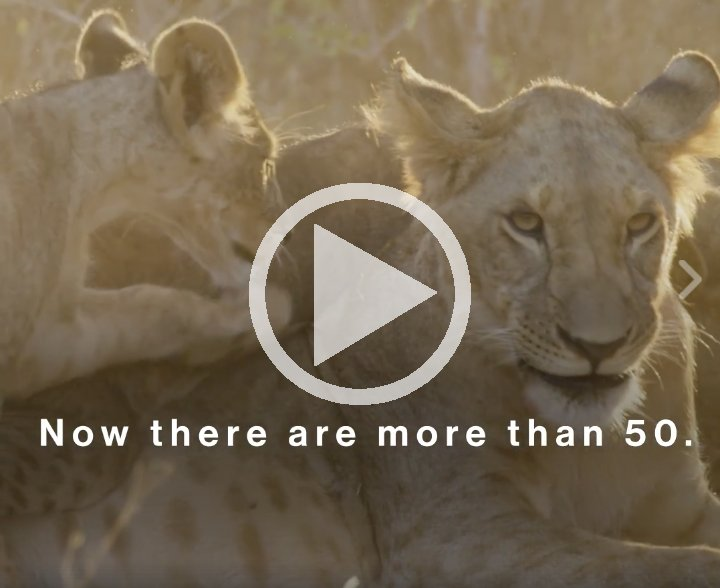 Samburu warriors @EwasoLions have had a major impact on expanding the #lion population in northern Kenya:  http:// bit.ly/2uWd3Gd  &nbsp;    #bigcats<br>http://pic.twitter.com/Wetwd3BaX0