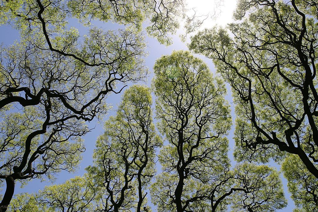 「青い川」と題された森の中から上方を撮影した写真 flic.kr/p/2bSTL 樹冠の間にほぼ一定の幅の空間が残っており、それが川のようなパターンを示す。クラウン・シャイネス(樹冠の恥じらい)と呼ばれる現象。米国の Dag Peak 氏がブエノスアイレスで撮影。 pic.twitter.com/ci0sUMTulO