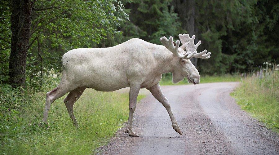 Rare white moose captured on film in #Sweden (VIDEO)  https:// on.rt.com/8kbz  &nbsp;  <br>http://pic.twitter.com/GqFOwNouBp