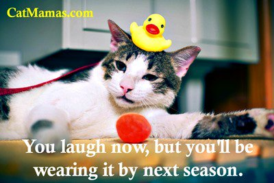 We all know better than to laugh at a #cat! Heaven forbid! #kitty #pets<br>http://pic.twitter.com/BYOtTaHmVU