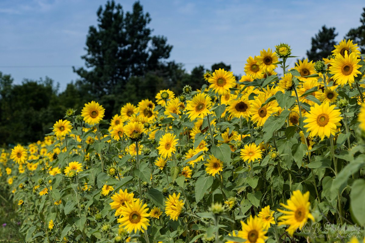 Here&#39;s some beautiful sunflowers for a not so sunny day today lol #sunflowers #greycounty<br>http://pic.twitter.com/4EUT3Qp1p2