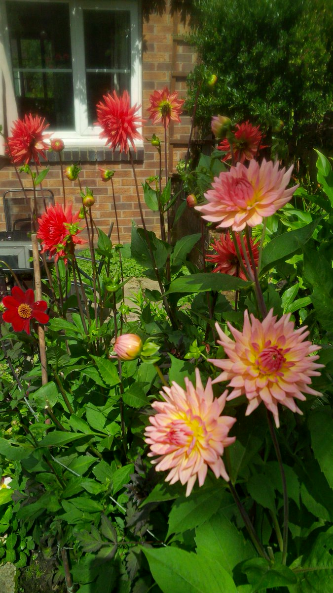 Pleased with my #dahlias #sarahraven #summerflowers <br>http://pic.twitter.com/61QvEflcPW