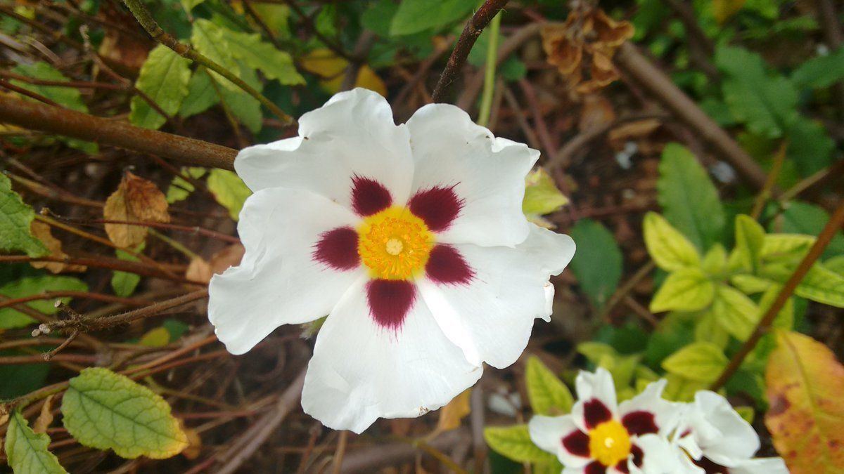 #LoveFlowers Garden: The name Cistus &#39;Snow Fire&#39; really does suit the little flower on this Mediterranean plant @kewgardens<br>http://pic.twitter.com/7RQF4qiSsd
