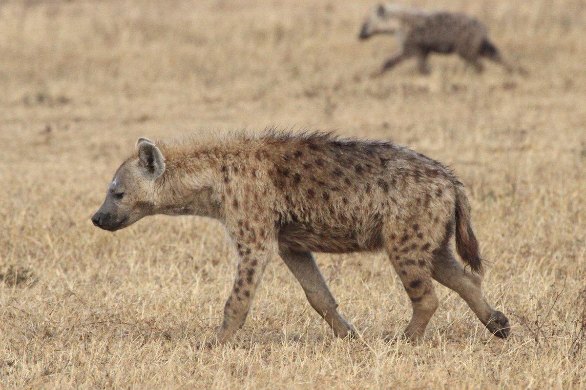 Hyena Project (@HyenaProject) | Twitter