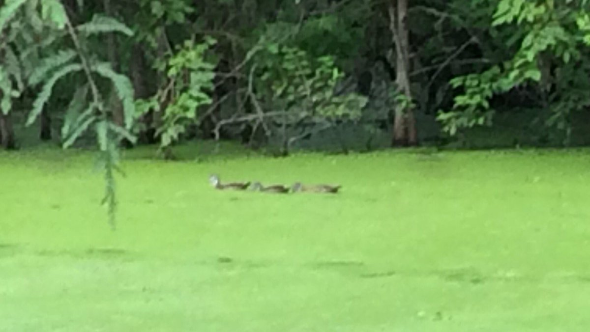 A small group of female wood ducks at Lake Martin this evening outside of Lafayette LA. #CajunLife #woodducks #swamplife<br>http://pic.twitter.com/yHYNZPbfxw