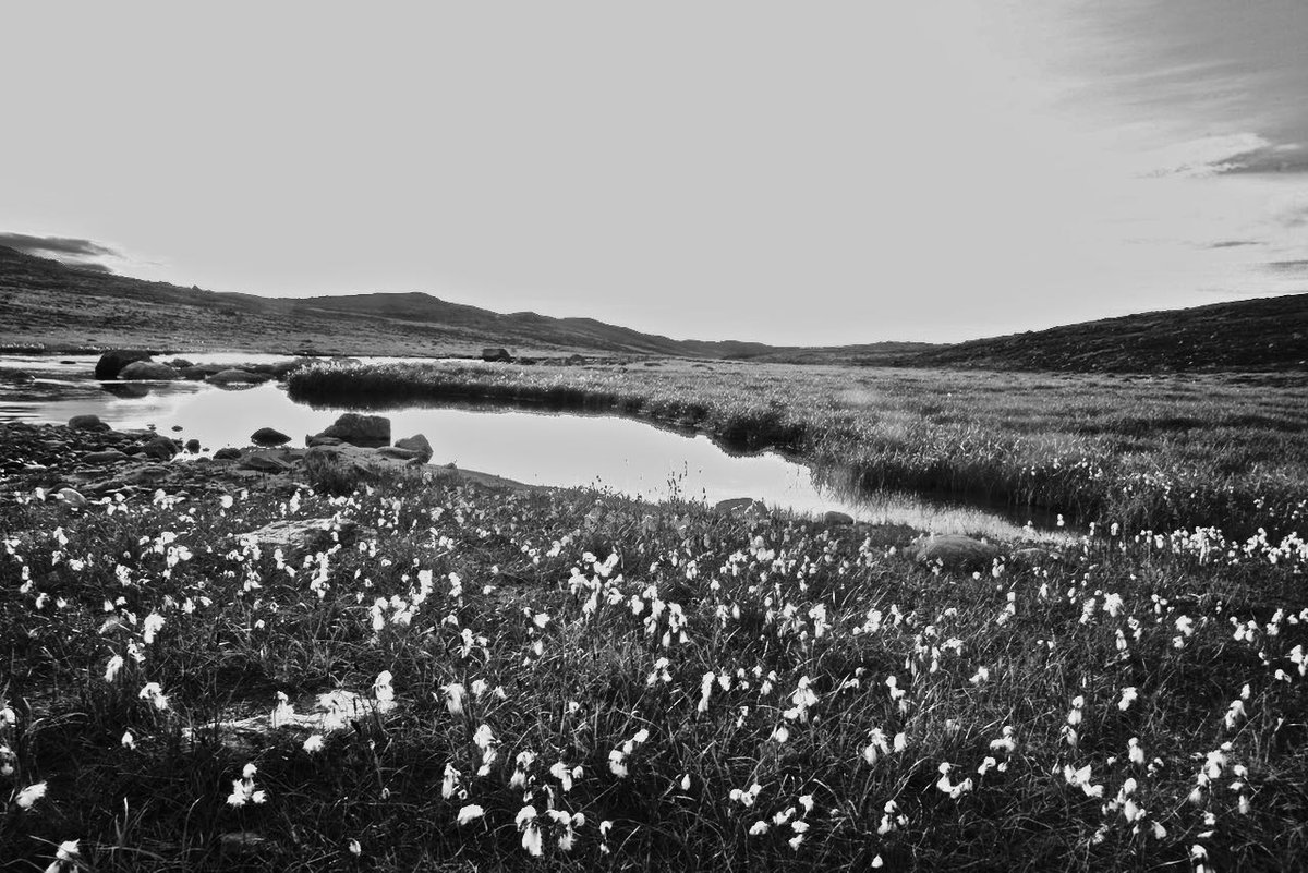 #ArcticCotton Grass AKA 'Eriophorum Callitrix' at the #RoadToNowhere i...