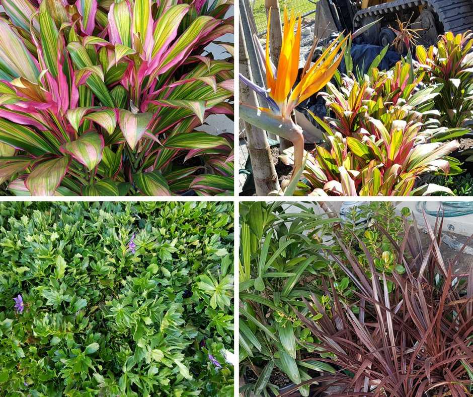 The plants have arrived at the #Elysee Development. The colours look amazing. #WalterIezzi #PropertyDeveloper   http://www. elysee.com.au  &nbsp;  <br>http://pic.twitter.com/JecFBX4wlS