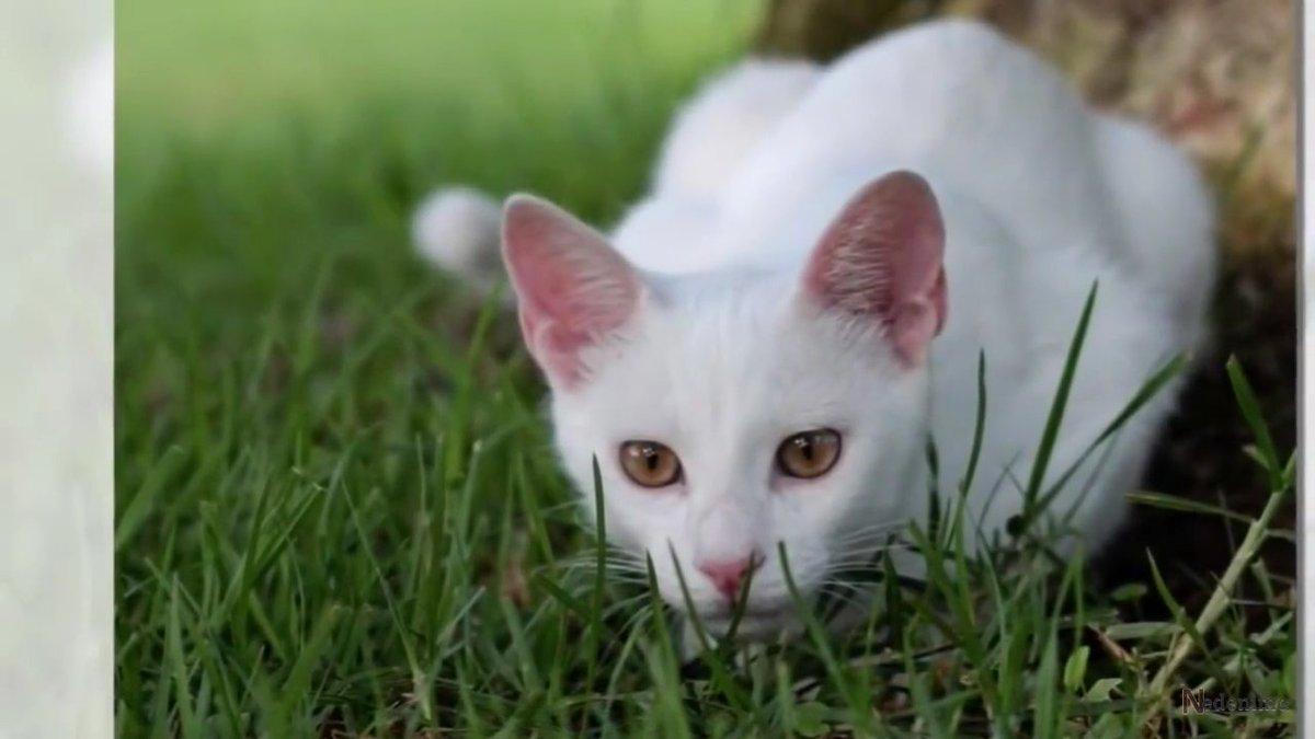 Коты с красными глазами порода